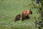 Lassen mama and cub.jpg