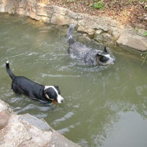 Summer swim: Sammy and Cody in irrigation ditch
