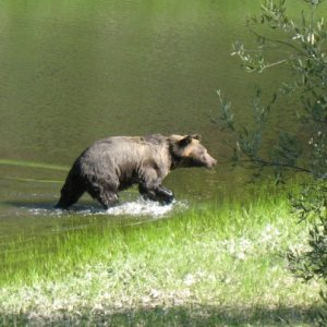 EOC Yellowstone Grizzly