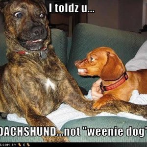 funny dog pictures weenie dog