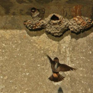 Swallows Make home under the protection of San Simeon Creek.