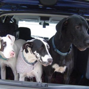 I use to travel alot with these three Great Danes in the Element!