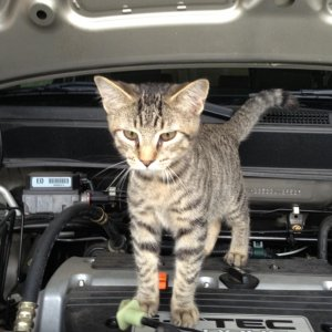 Apparently my friend's kitten Bob likes the Honda Element and its 2.4L four cylinder engine.